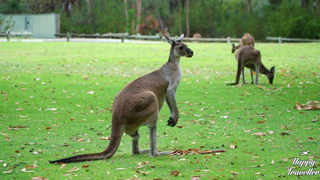 kangaroo australia happy traveller
